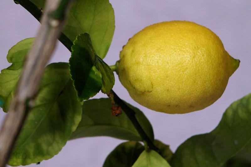 Cytryna zwyczajna duży krzew